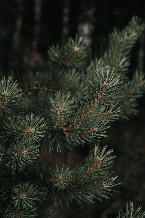 Kollekte vun ale Chrëschtbeemercher -Collecte des sapins de Noël