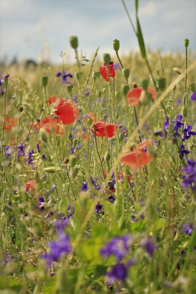 Workshop: prairie à fleurs sauvages / Wildblumenwiese